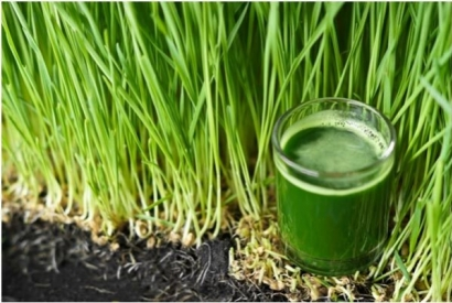 Wheat grass... can we eat it?